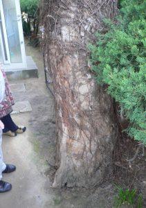 建物に影響を与えていた木